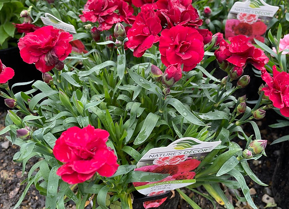Carnation - Oscar Red