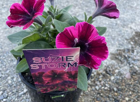 Petunia - spreading perennial Suzie Storm