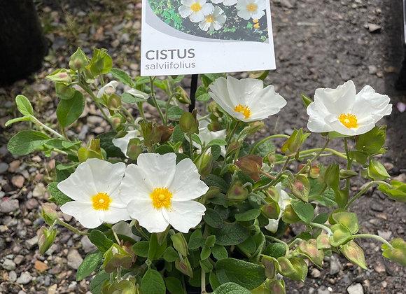 Rockrose - Cistus Salviifolius 14cm  pot