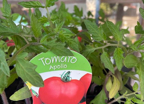 Tomato - Apollo