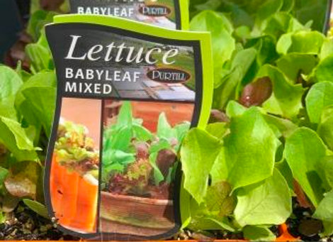 Lettuce - Baby leaf Mixed punnet