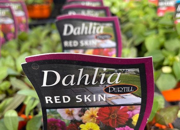 Dahlia - Red Skin punnet
