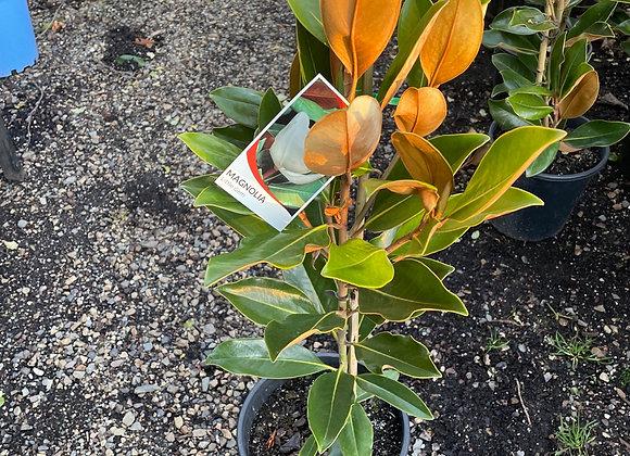 Magnolia - Little Gem 20cm pot