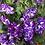 Thumbnail: Petunia - spreading perennial NIGHT SKY