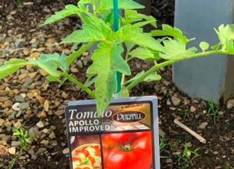 Tomato - Apollo Improved ADVANCED