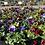 Thumbnail: Pansies - Bloomer pots