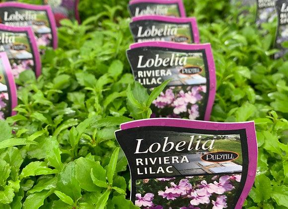 Lobelia - Riviera Lilac punnet