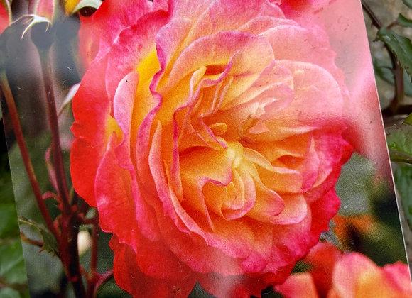 Bush Rose  - Garden Delight 20cm pot