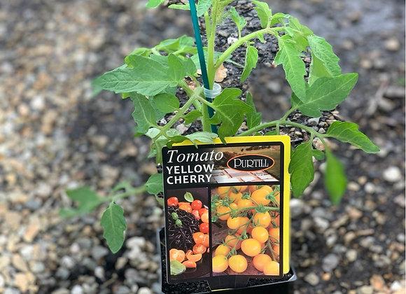 Tomato - Yellow Cherry ADVANCED