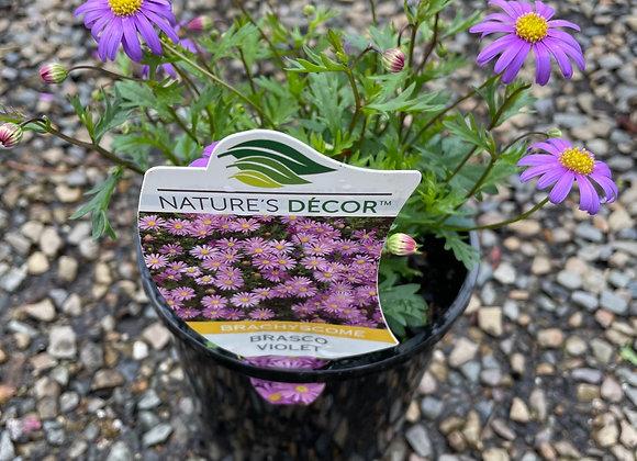 Brachyscome-Brasco Violet 14cm pot