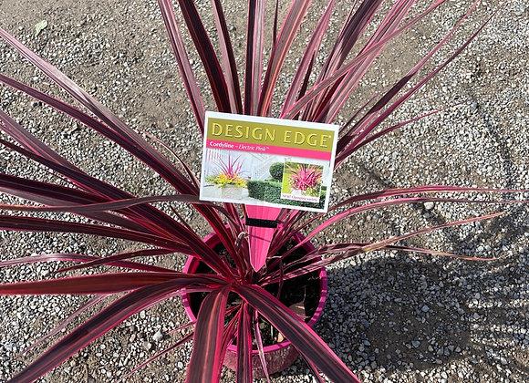 Cordyline - Electric Pink 20cm pot