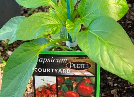 Capsicum - Courtyard ADVANCED