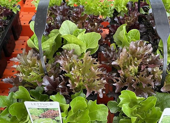Lettuce packs. Semi advanced mixed lettuces