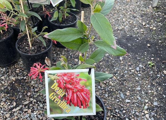 Grevillea Deua orange red flowers most of the year 14cm pot