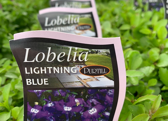Lobelia -  Lightning Blue punnet
