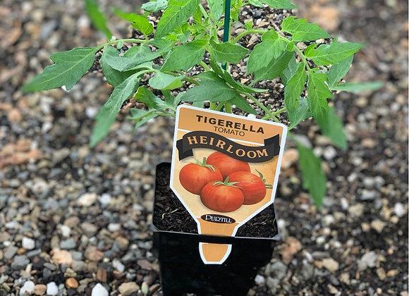 Tomato - Tigerella ADVANCED