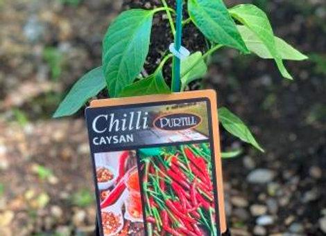 Chilli - Caysan ADVANCED