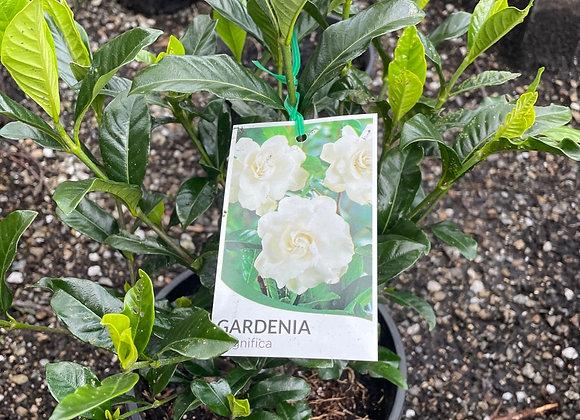 Gardenia - Magnifica 20cm pot