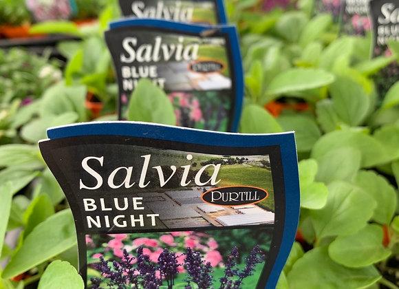 Salvia - Blue Night punnet