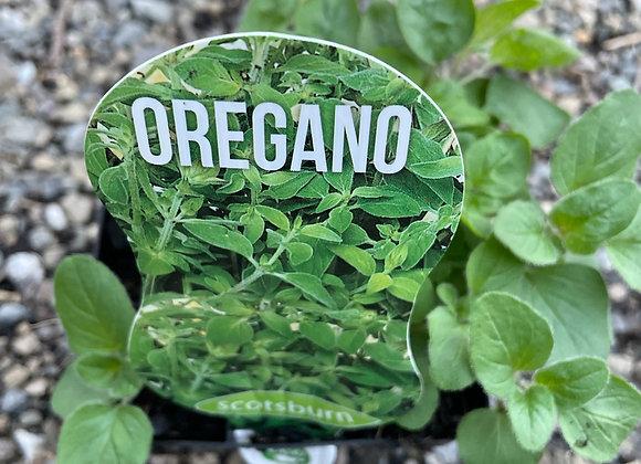 Oregano - 100mm square pot SEMI ADVANCED