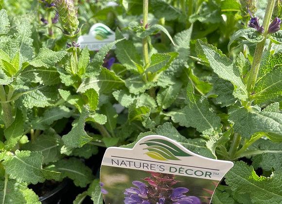 Salvia -  Blue Marvel 14cm  pot