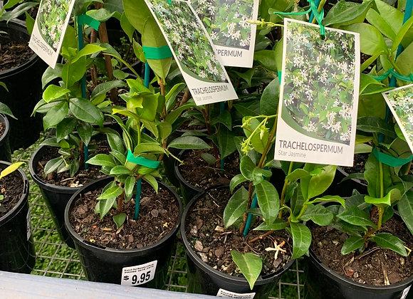 Star Jasmine 14cm pot Trachelospermum