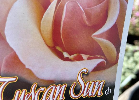 Standard Rose Tall approx 80cm- Tuscan Sun 25cm pot