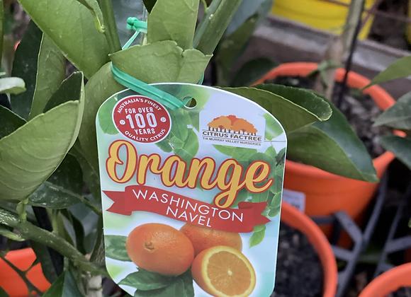 Orange - Washington  Navel