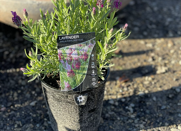 Lavender Javelin Forte Deep Rose