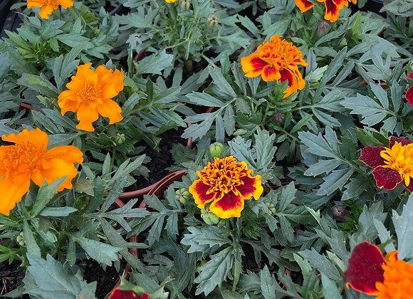 Marigold - Mixed