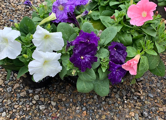 Petunias - Bloomer pots