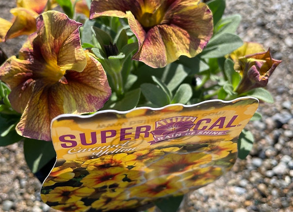 Super Cal - Caramel Yellow 14cm pot
