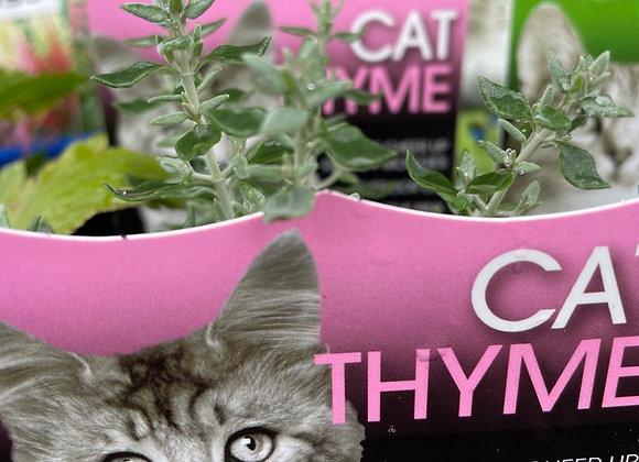 Cat Thyme SEMI ADVANCED 100mm pot