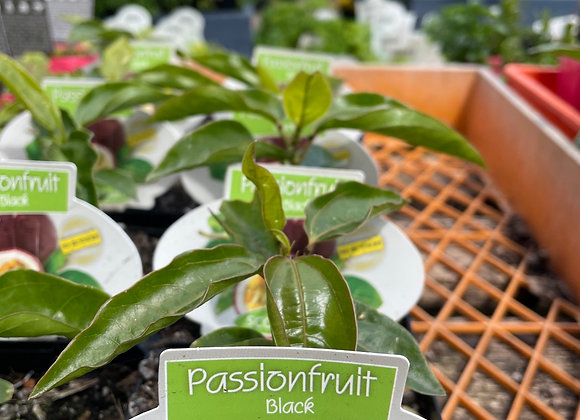 Passionfruit -  Black seed grown 100mm square pot SEMI ADVANCED