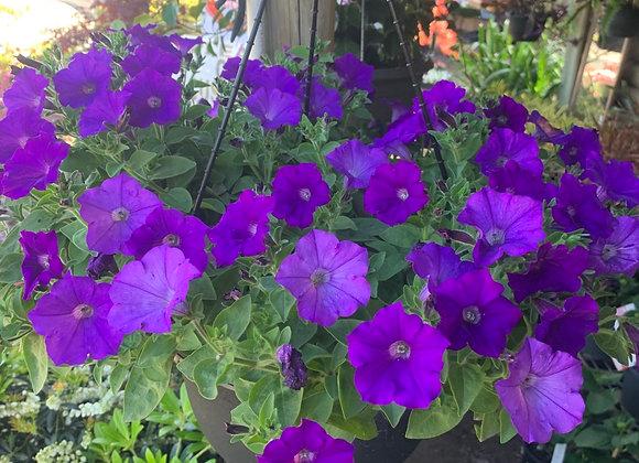 Blue Spreading petunia hanging basket