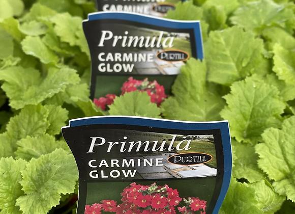Primula-Carmine Glow