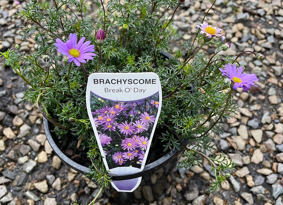 Brachyscome-Break O' Day 14cm pot