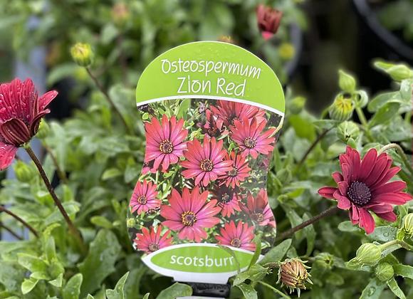 Osteospermum -  Zion Red 200mm pot