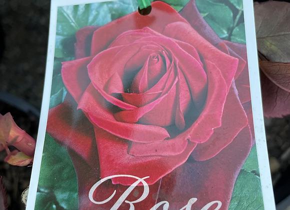 Bush Rose -  Mr Lincoln 20cm pot
