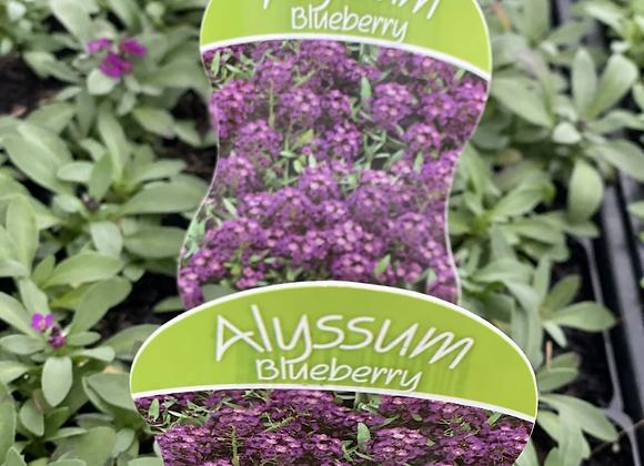 Alyssum - purple