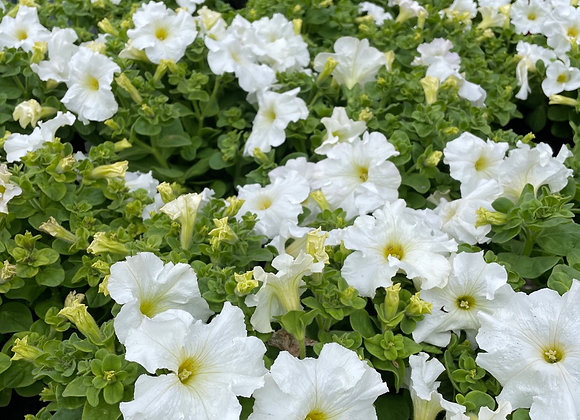 Petunias - WHITE 200mm pot SPECIAL PRICE