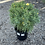 Thumbnail: Argyranthemum - Sunny days yellow