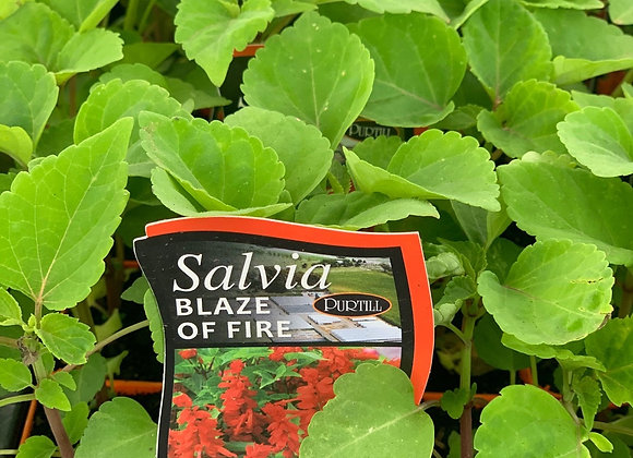 Salvia - Blaze of Fire punnet