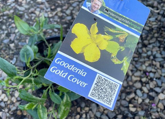 Goodenia - Gold Cover 14cm pot