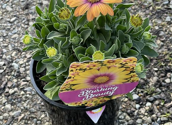 Osteospermum - Blushing Beauty 14cm pot