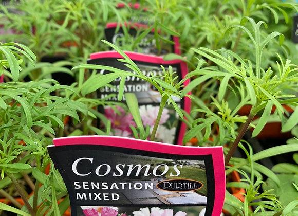 Cosmos - Sensation Mixed punnet