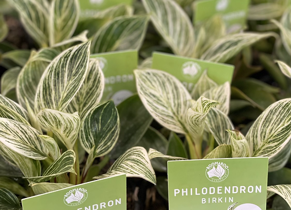Philodendron - Birkin 13cm pot