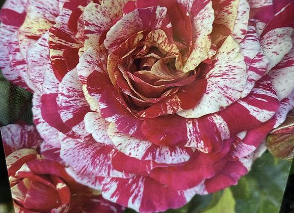 Bush Rose -  It's Magic!  20cm pot