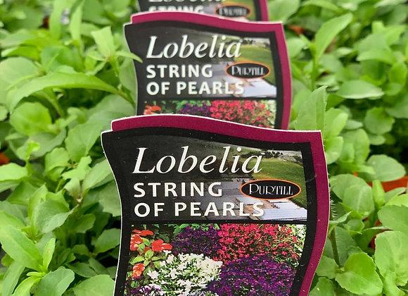 Lobelia - String of Pearls punnet