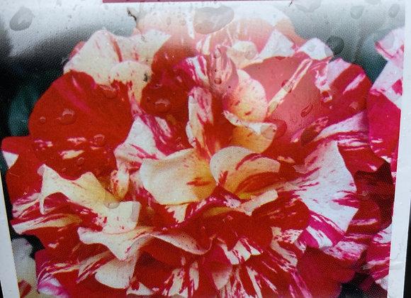 Bush Rose  - Maurice Utrillo DELBARD 20cm pot